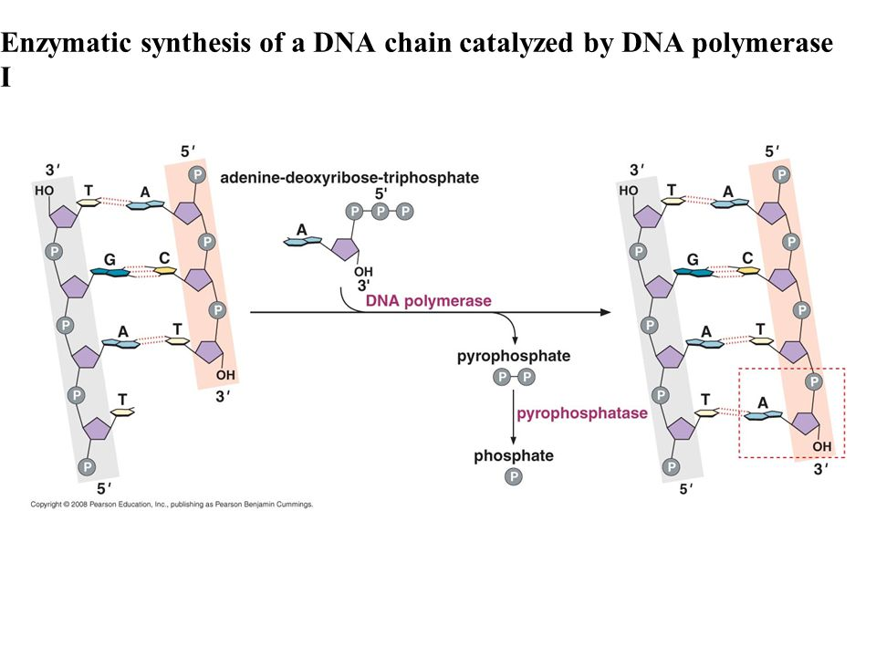 Enzymatic synthesis of a DNA chain catalyzed by DNA polymerase I