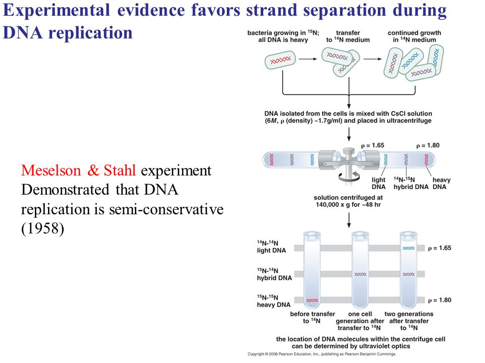 Experimental evidence favors strand separation during DNA replication Meselson & Stahl experiment Demonstrated that DNA replication is semi-conservati