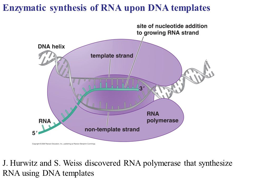 Enzymatic synthesis of RNA upon DNA templates J. Hurwitz and S. Weiss discovered RNA polymerase that synthesize RNA using DNA templates