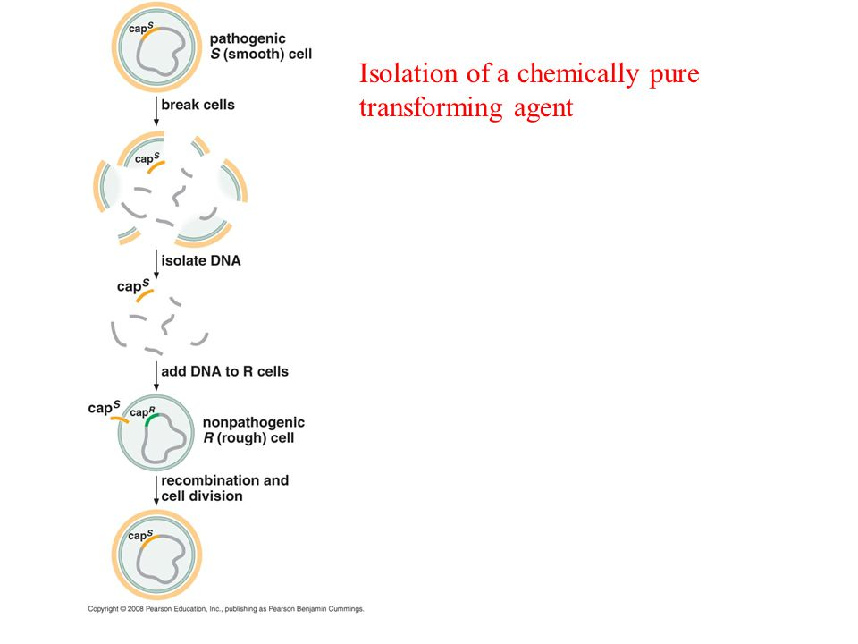 Isolation of a chemically pure transforming agent