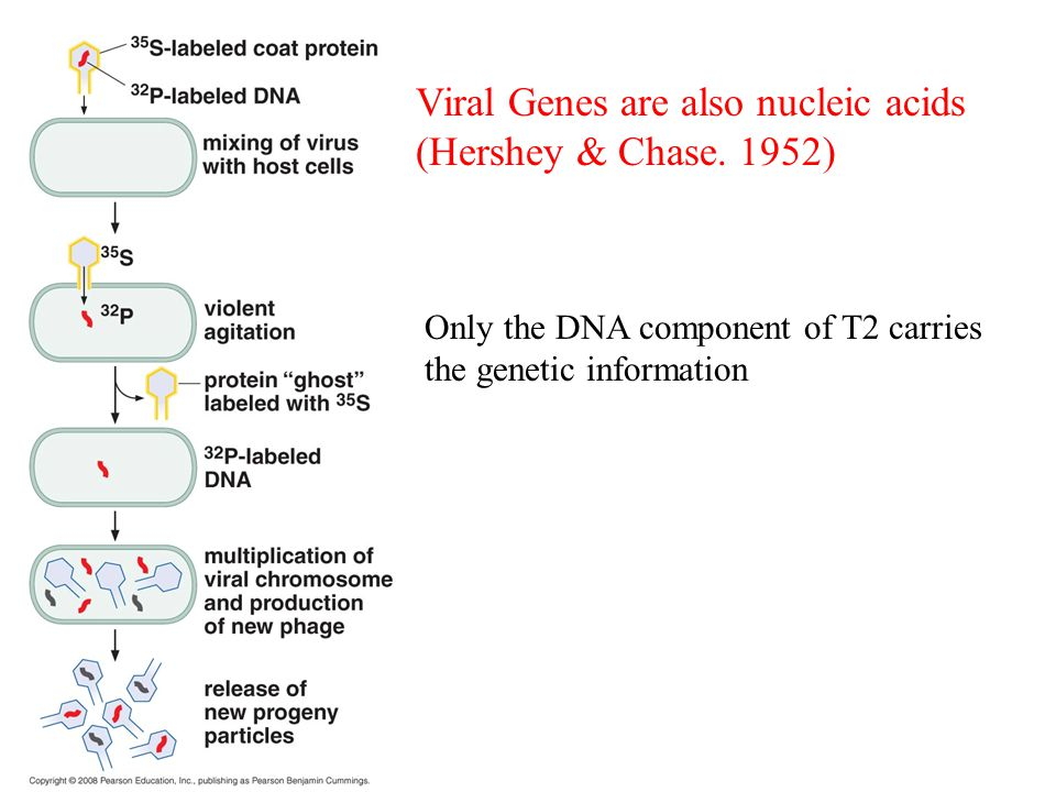 Viral Genes are also nucleic acids (Hershey & Chase. 1952) Only the DNA component of T2 carries the genetic information