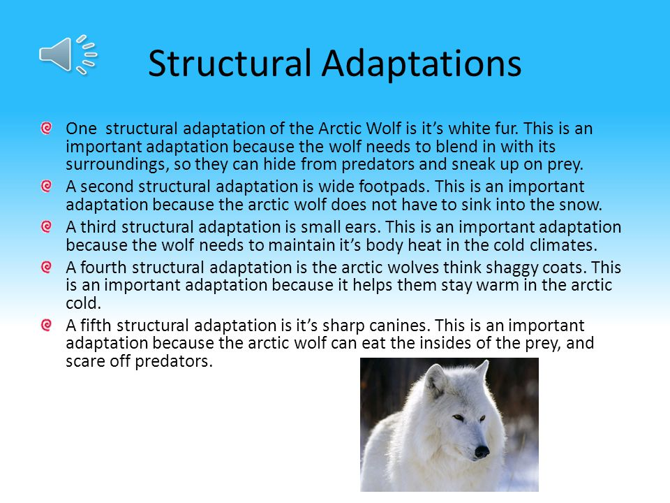 Structural Adaptations One structural adaptation of the Arctic Wolf is it's white fur.