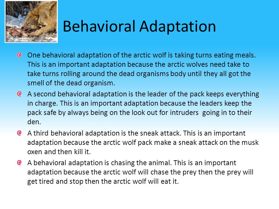 Structural Adaptations One structural adaptation of the Arctic Wolf is it's white fur. This is an important adaptation because the wolf needs to blend