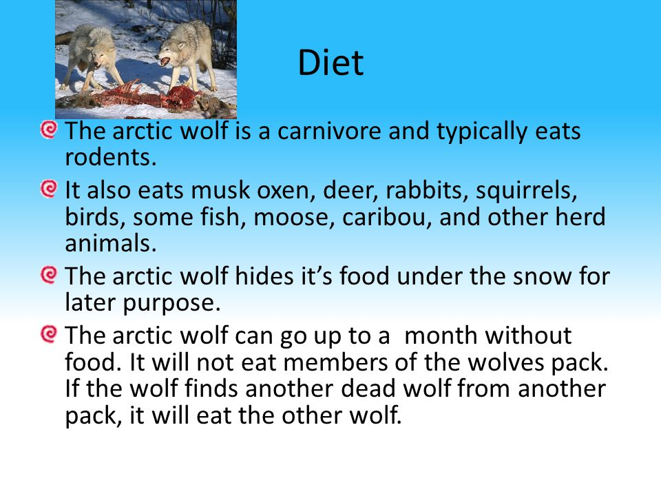 Diet The arctic wolf is a carnivore and typically eats rodents.