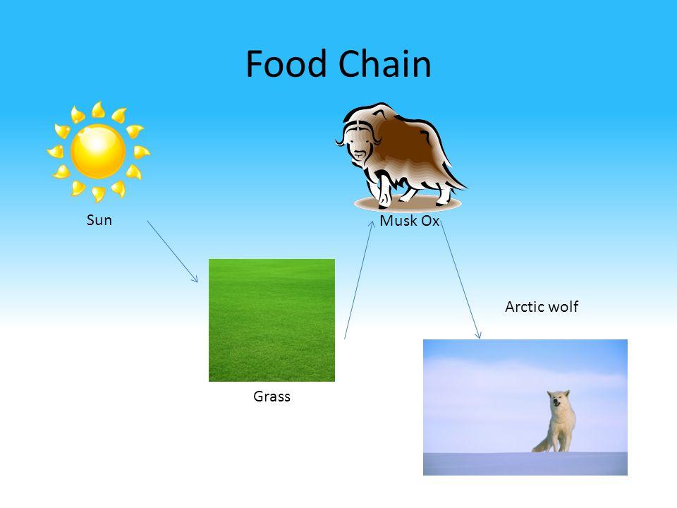 Food Chain Sun Grass Musk Ox Arctic wolf