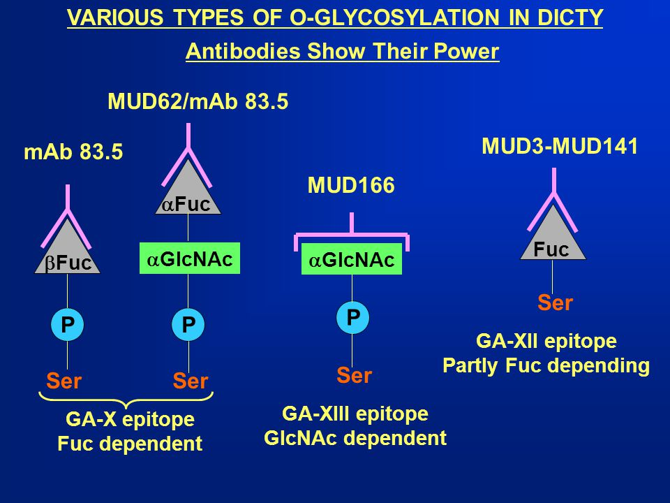 VARIOUS TYPES OF O-GLYCOSYLATION IN DICTY Antibodies Show Their Power Fuc Ser P  GlcNAc Ser MUD166 GA-XIII epitope GlcNAc dependent GA-XII epitope Pa