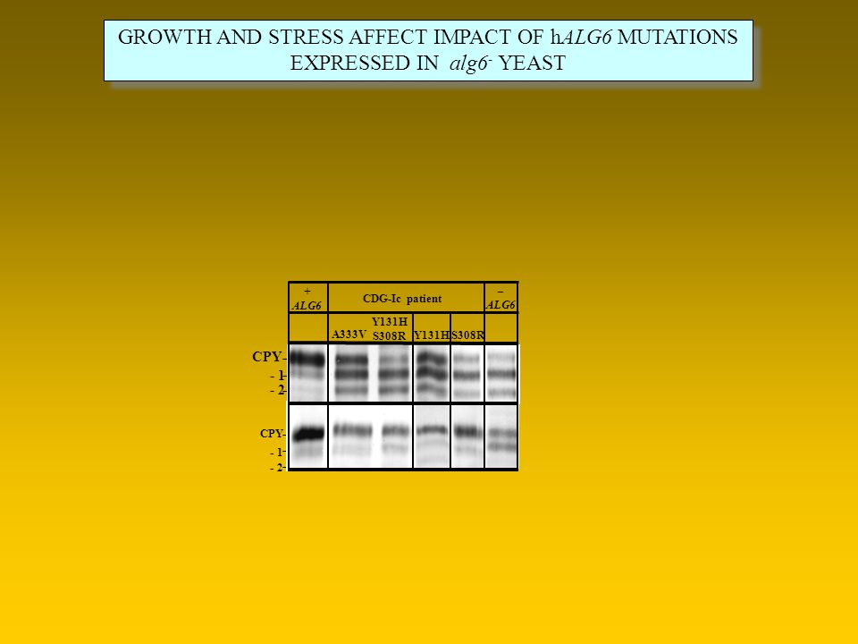 GROWTH AND STRESS AFFECT IMPACT OF hALG6 MUTATIONS EXPRESSED IN alg6 - YEAST GROWTH AND STRESS AFFECT IMPACT OF hALG6 MUTATIONS EXPRESSED IN alg6 - YE