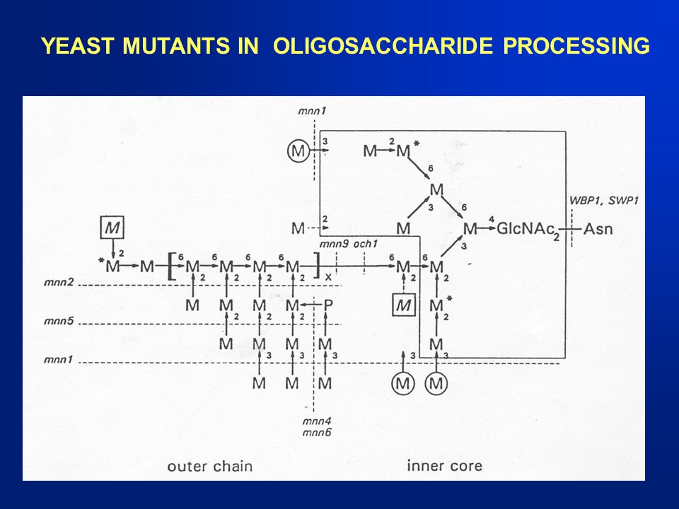 YEAST MUTANTS IN OLIGOSACCHARIDE PROCESSING