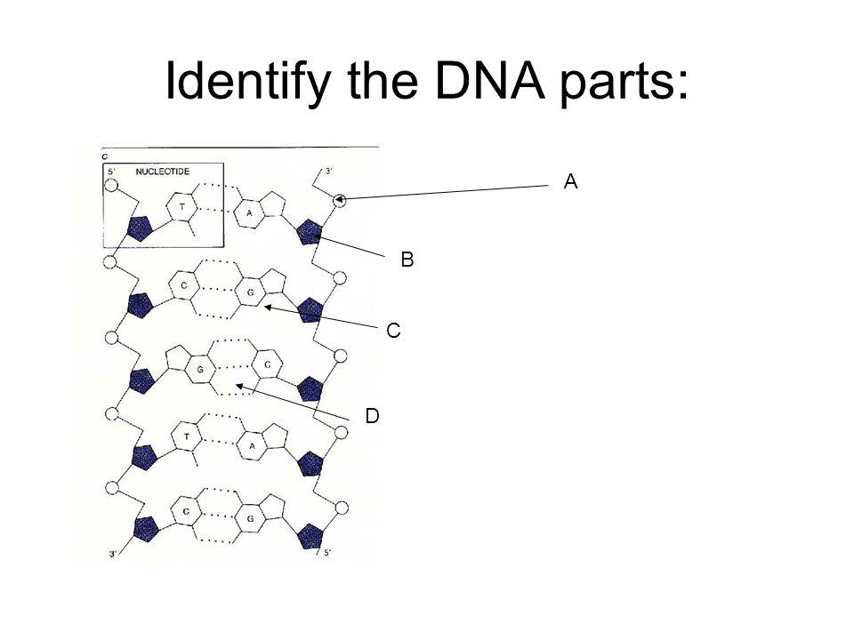 Identify the DNA parts: A B C D