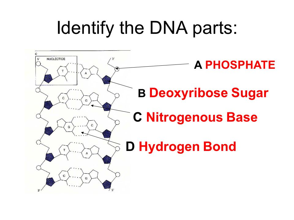What process? Is DNA making a copy of itself? ANSWER: Replication