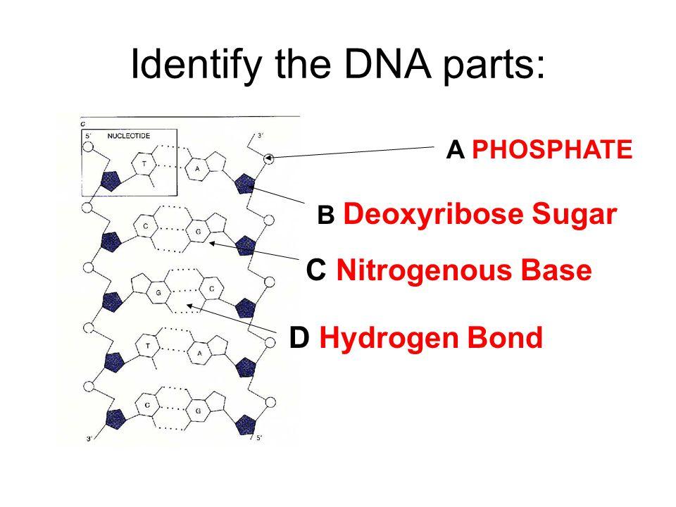A PHOSPHATE B Deoxyribose Sugar C Nitrogenous Base D Hydrogen Bond