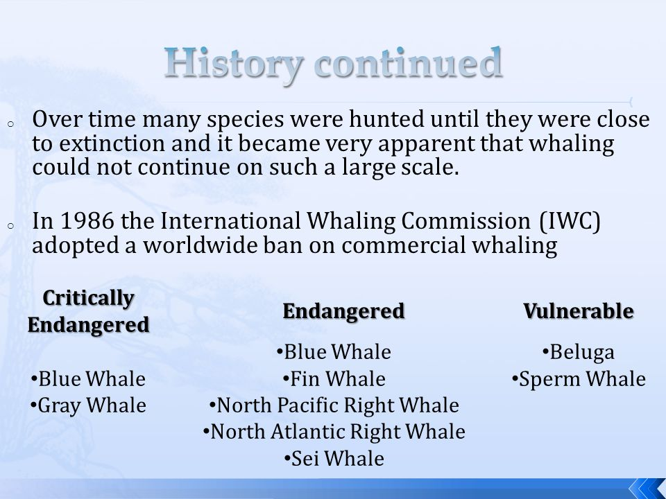 o Over time many species were hunted until they were close to extinction and it became very apparent that whaling could not continue on such a large scale.