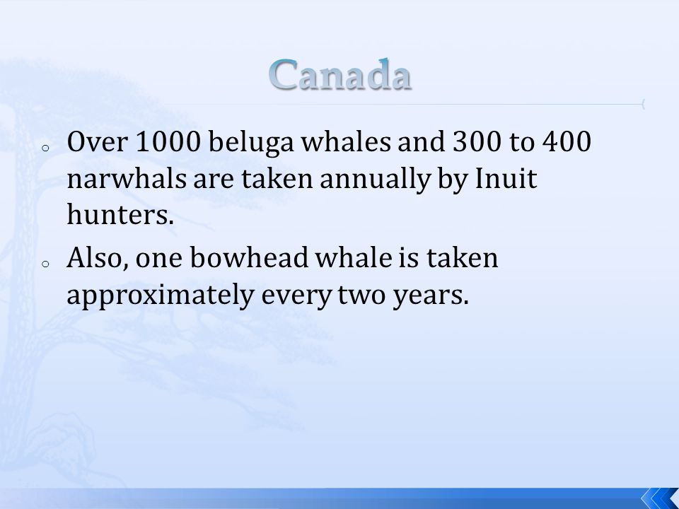 o Over 1000 beluga whales and 300 to 400 narwhals are taken annually by Inuit hunters.
