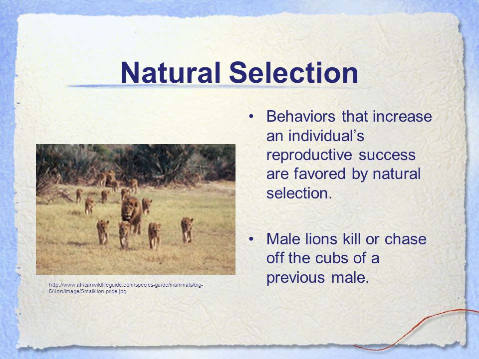 Natural Selection Behaviors that increase an individual's reproductive success are favored by natural selection.