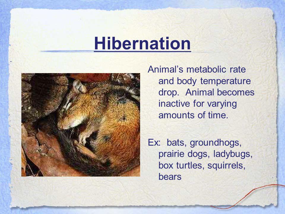Hibernation Animal's metabolic rate and body temperature drop.