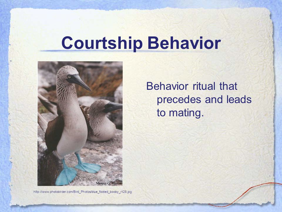 Courtship Behavior Behavior ritual that precedes and leads to mating. http://www.photobirder.com/Bird_Photos/blue_footed_booby_r128.jpg