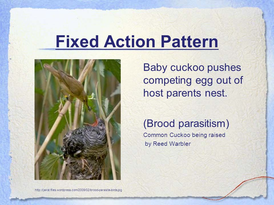 Fixed Action Pattern Baby cuckoo pushes competing egg out of host parents nest. (Brood parasitism) Common Cuckoo being raised by Reed Warbler http://j