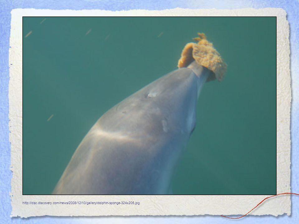 http://dsc.discovery.com/news/2008/12/10/gallery/dolphin-sponge-324x205.jpg