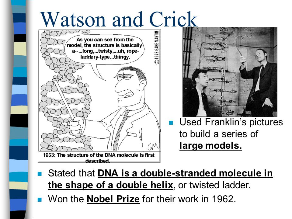 Watson and Crick n Used Franklin's pictures to build a series of large models. n Stated that DNA is a double-stranded molecule in the shape of a doubl