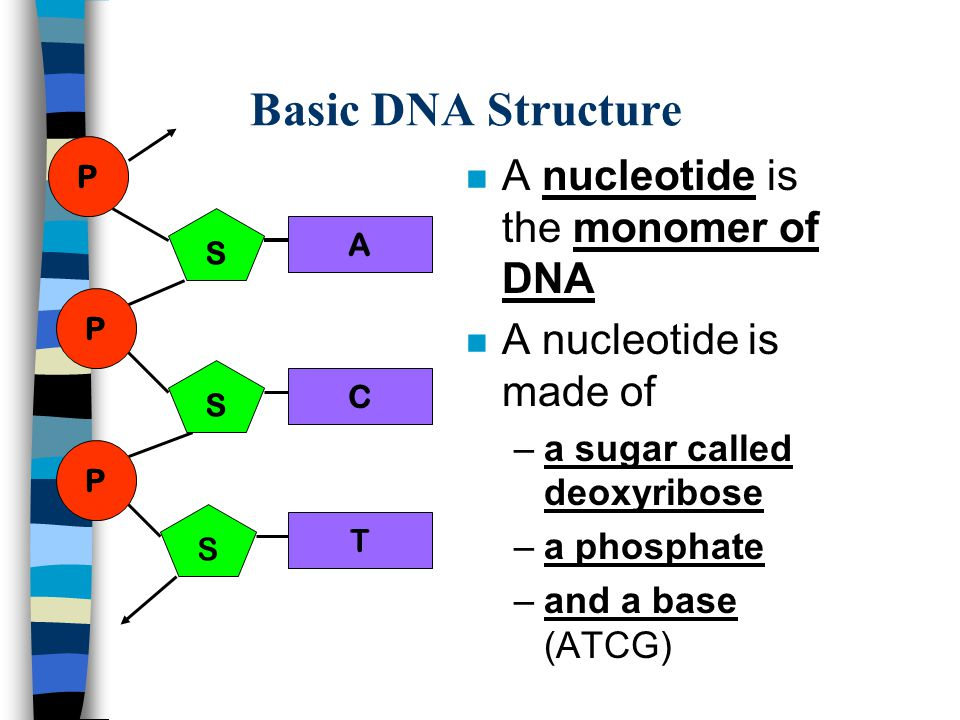 Basic DNA Structure S P A C S P S P T n A nucleotide is the monomer of DNA n A nucleotide is made of –a sugar called deoxyribose –a phosphate –and a b