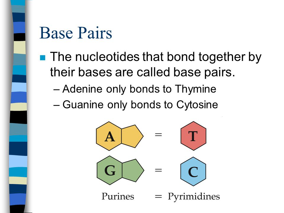 Base Pairs n The nucleotides that bond together by their bases are called base pairs. –Adenine only bonds to Thymine –Guanine only bonds to Cytosine