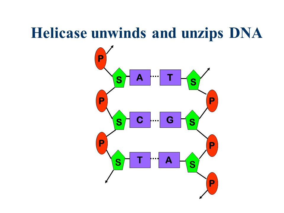 Helicase unwinds and unzips DNA S P A C S P S P T T G S S P P S P A
