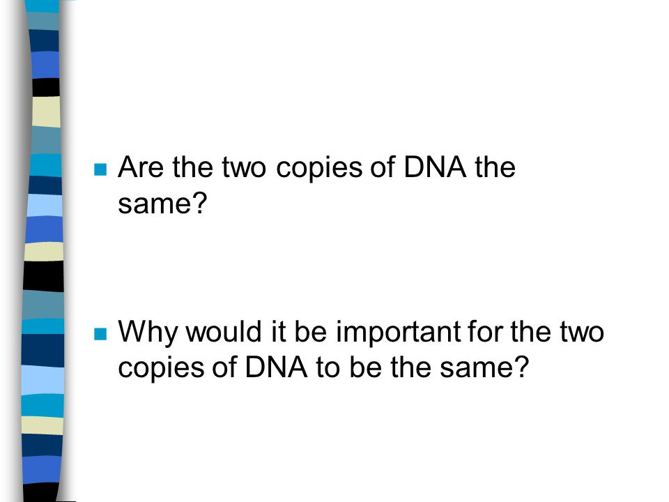 n Are the two copies of DNA the same? n Why would it be important for the two copies of DNA to be the same?