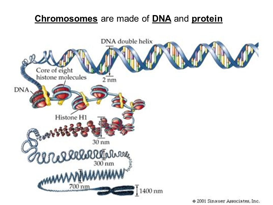 Chromosomes are made of DNA and protein