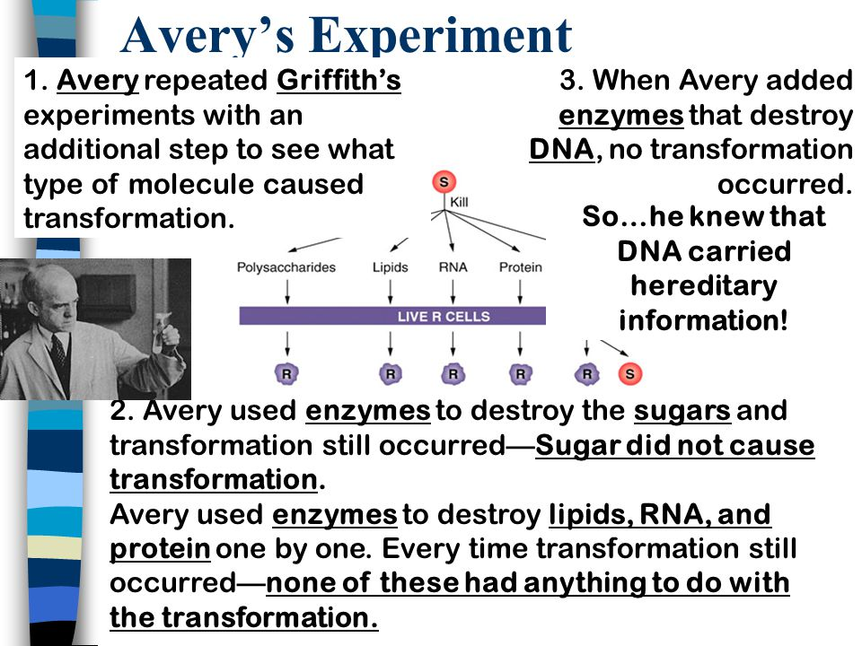 Avery's Experiment 1. Avery repeated Griffith's experiments with an additional step to see what type of molecule caused transformation. 3. When Avery