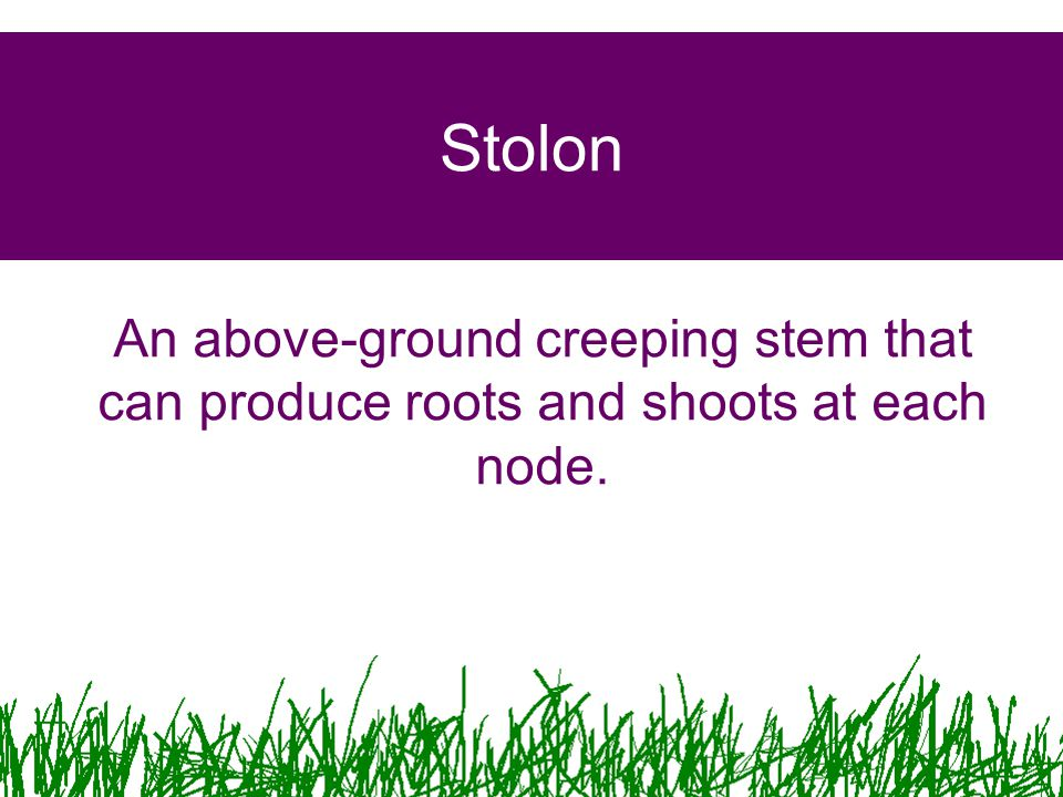 Stolon An above-ground creeping stem that can produce roots and shoots at each node.