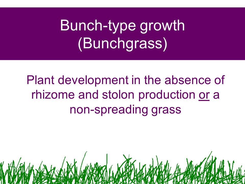 Bunch-type growth (Bunchgrass) Plant development in the absence of rhizome and stolon production or a non-spreading grass