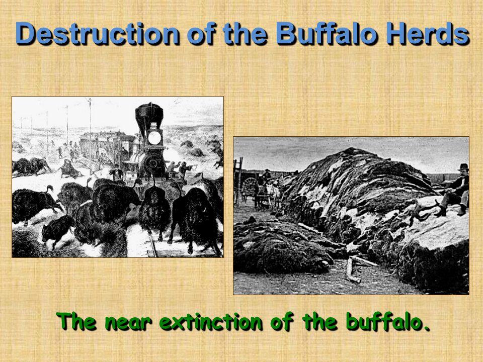 Destruction of the Buffalo Herds The near extinction of the buffalo.