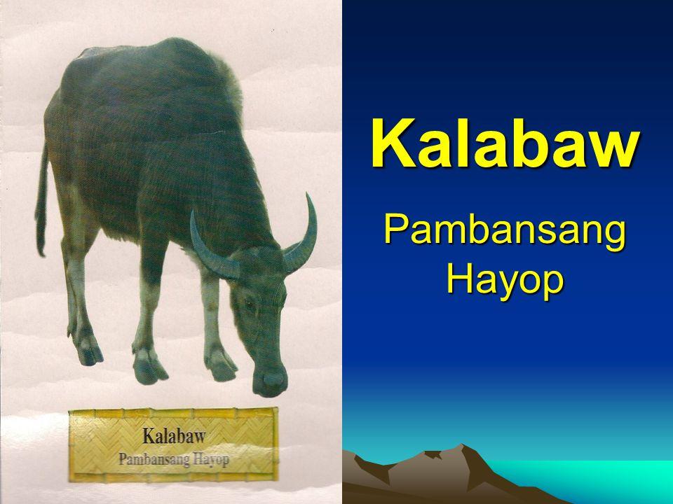Pambansang Hayop Kalabaw