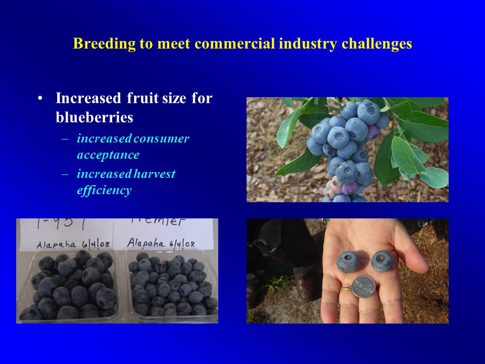 Breeding to meet commercial industry challenges Increased fruit size for blueberries –increased consumer acceptance –increased harvest efficiency