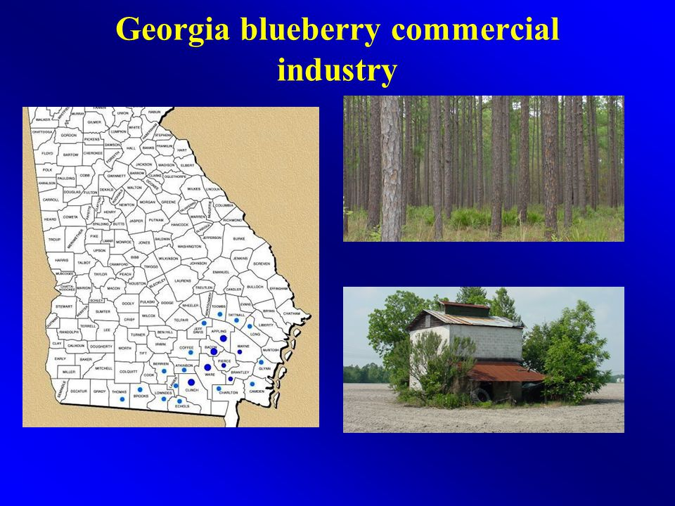 Georgia blueberry commercial industry