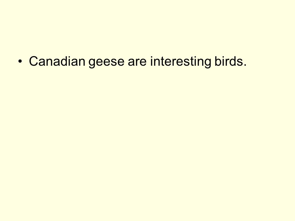 Canadian geese are remarkable for their ability to fly and honk simultaneously.