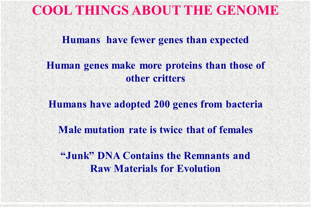 COOL THINGS ABOUT THE GENOME Humans have fewer genes than expected Human genes make more proteins than those of other critters Humans have adopted 200 genes from bacteria Male mutation rate is twice that of females Junk DNA Contains the Remnants and Raw Materials for Evolution
