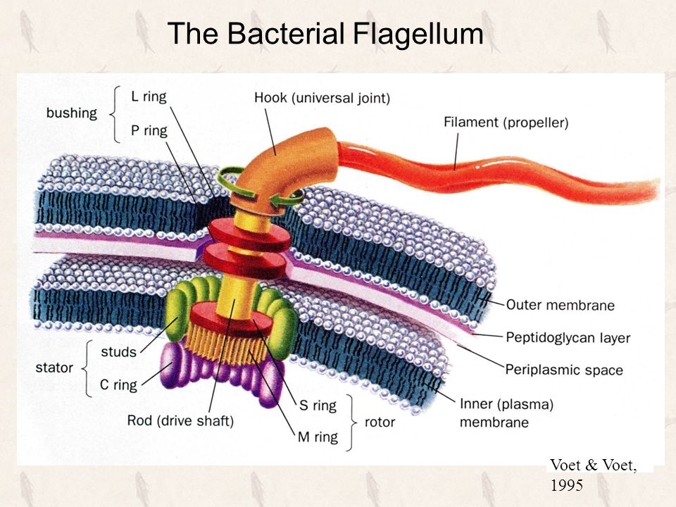 Voet & Voet, 1995 The Bacterial Flagellum