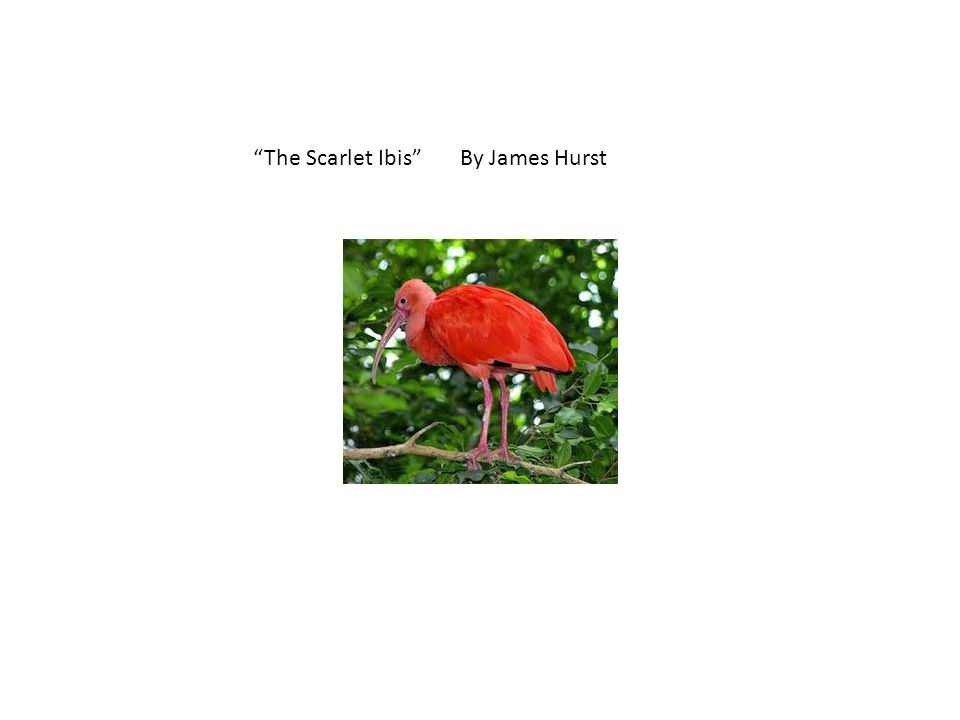 """""""The Scarlet Ibis"""" By James Hurst"""