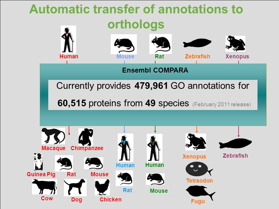 Automatic transfer of annotations to orthologs MouseRatZebrafishXenopus Macaque Chimpanzee Guinea Pig Rat Mouse Dog Chicken Human Rat Human Mouse Huma