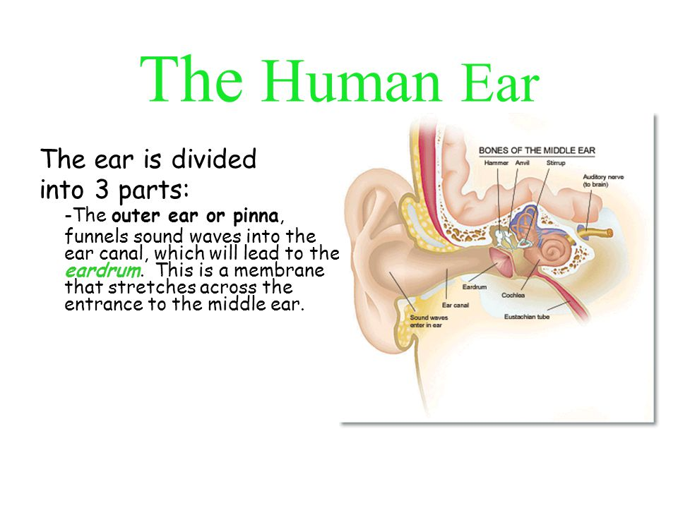 The Human Ear -The middle ear has three tiny bones, the hammer, the anvil, and the stirrup.