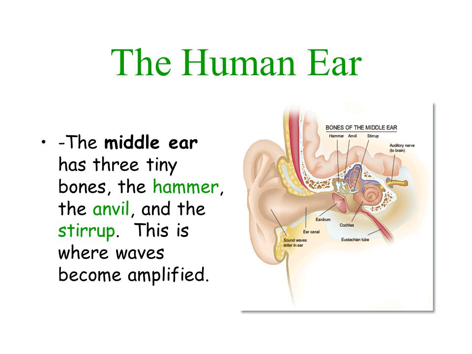 The Human Ear Inside the inner ear is a coiled tube called the cochlea.