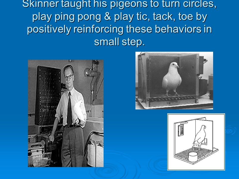 Skinner taught his pigeons to turn circles, play ping pong & play tic, tack, toe by positively reinforcing these behaviors in small step.