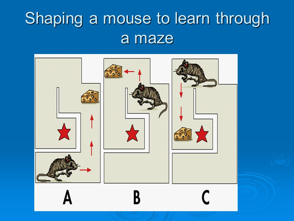 Shaping a mouse to learn through a maze