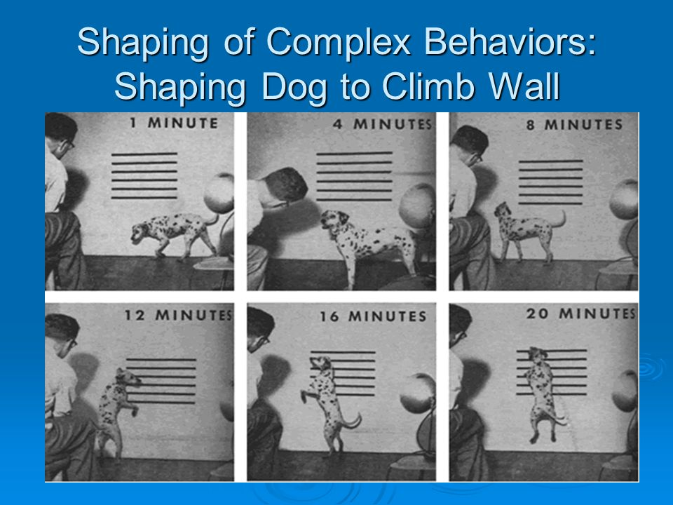 Shaping of Complex Behaviors: Shaping Dog to Climb Wall