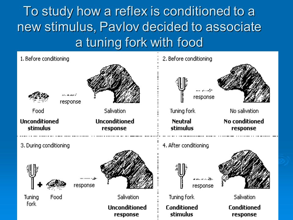 To study how a reflex is conditioned to a new stimulus, Pavlov decided to associate a tuning fork with food
