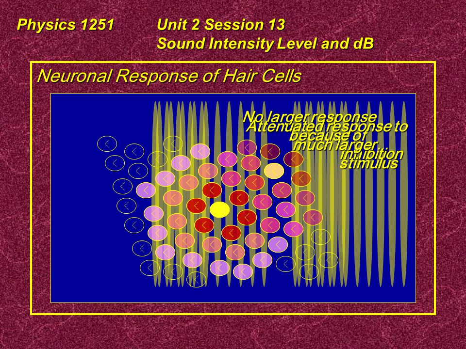Physics 1251Unit 2 Session 13 Sound Intensity Level and dB Neuronal Response of Hair Cells Hair Cells in the Basilar Membrane Stimulus No response Larger Neuron fires and neighbors are inhibited No increased response