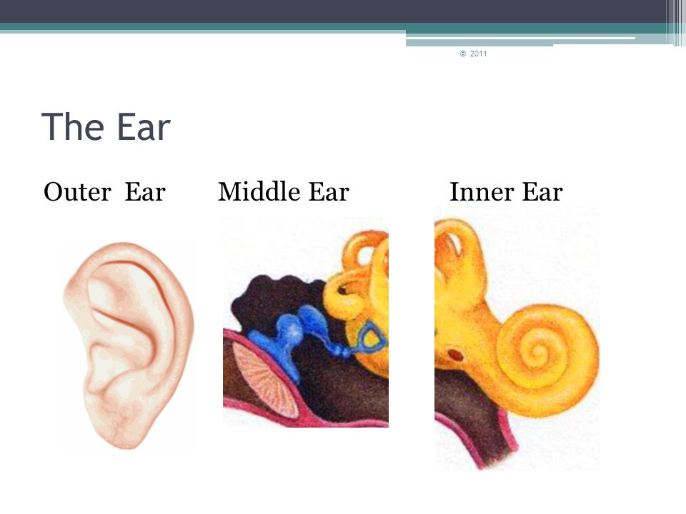 Parts of the Ear Inner Ear The inner ear is made up of the cochlea and the auditory nerve.