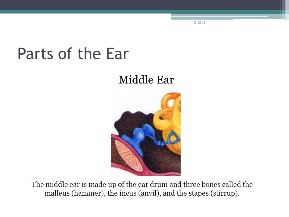 Parts of the Ear Outer Ear © 2011