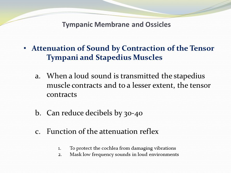 Tympanic Membrane and Ossicles Attenuation of Sound by Contraction of the Tensor Tympani and Stapedius Muscles a.When a loud sound is transmitted the